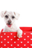 Cute puppy dog in a red love heart box. Adorable little puppy dog in a red and white love heart box. White background Royalty Free Stock Image