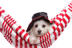 Cute puppy dog relaxing in hammock Stock Images