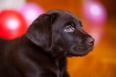 Cute puppy dog Retriever Labrador Royalty Free Stock Photography