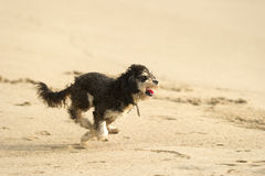 Cute puppy dog running. Stock Photos
