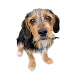 Cute Puppy Dog Sitting royalty free stock image