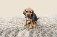 Cute puppy dog Royalty Free Stock Photos