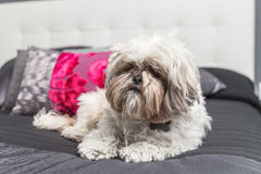 Free Cute Puppy Dog Standing On A Bed Cover Royalty Free Stock Images - 68220269
