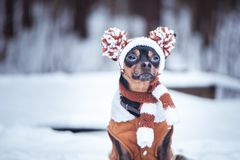 Cute puppy, dog, toy terrier in scarf, portrait macro, new year,. Christmas. There is a white fluffy snow. Christmas card, winter team stock image