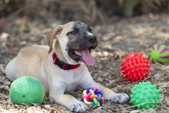 Cute Puppy Dog and Toys Stock Image