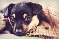 Cute puppy dog under blanket. Portrait of cute puppy dog resting under blanket Royalty Free Stock Image
