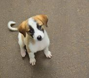 A cute puppy pet dog (Jack russel terrier). A cute puppy dog watching at us.Look small and energetic .It was running and playing all around the place stock photography