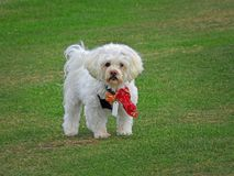 Cute puppy dog wearing bandana. Photo of a cute white fluffy puppy dog wearing a red bandana scarf at whitstable slopes tankerton 14th october 2017 Stock Photo