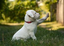 Cute Puppy Dogo Argentino sitting in grass. The sweet puppy Dogo Argentino sitting in grass summer royalty free stock photography