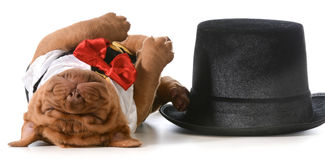 Cute puppy. Dogue de bordeaux puppy wearing tuxedo laying down sleeping beside tophat Royalty Free Stock Images