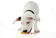 Cute puppy eating Royalty Free Stock Photography