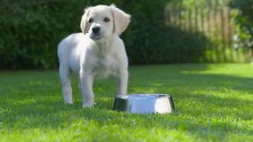 Cute Puppy is Eating - Drinking stock footage