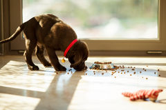 Cute puppy eating from its plate Stock Image