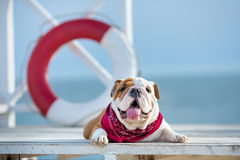 Cute puppy of english bull dog with funny face and red bandana on neck close to life saving bouy round floater Royalty Free Stock Images
