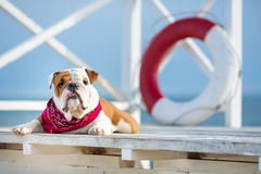 Cute puppy of english bull dog with funny face and red bandana on neck close to life saving bouy round floater Stock Photos