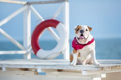 Cute puppy of english bull dog with funny face and red bandana on neck close to life saving bouy round floater Royalty Free Stock Image