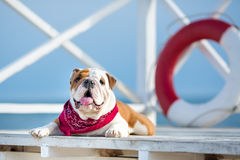 Cute puppy of english bull dog with funny face and red bandana on neck close to life saving bouy round floater Royalty Free Stock Photography