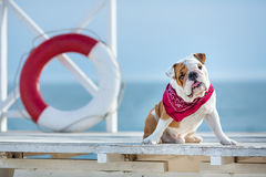 Cute puppy of english bull dog with funny face and red bandana on neck close to life saving bouy round floater Stock Image