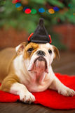 Cute puppy english bulldog with deer head cornuted on red carpet close to Christmas tree with xmas toys. Royalty Free Stock Photo