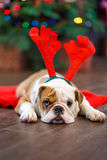 Cute puppy english bulldog with deer head cornuted on red carpet close to Christmas tree with xmas toys. Royalty Free Stock Photos