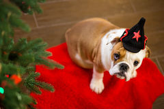 Cute puppy english bulldog with deer head cornuted on red carpet close to Christmas tree with xmas toys. Stock Photography