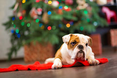Cute puppy english bulldog with deer head cornuted on red carpet close to Christmas tree with xmas toys. Royalty Free Stock Photography