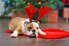 Cute puppy english bulldog with deer head cornuted on red carpet close to Christmas tree with xmas toys. Royalty Free Stock Images