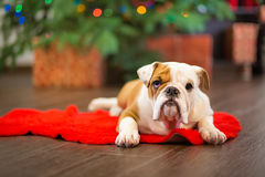 Cute puppy english bulldog with deer head cornuted on red carpet close to Christmas tree with xmas toys. Stock Image