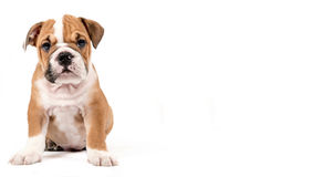 Cute puppy of English Bulldog Stock Photos