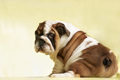 Cute puppy of English Bulldog looks back, royalty free stock photo