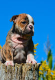 Cute puppy. English bulldog puppy sitting on a wooden stump Stock Image