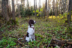 Cute Puppy English Springer Spaniel lying on the nature Royalty Free Stock Photos