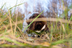 Cute Puppy English Springer Spaniel lying on the nature Stock Image