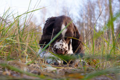 Cute Puppy English Springer Spaniel lying on the nature Stock Images