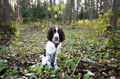 Cute Puppy English Springer Spaniel lying on the nature Stock Photos