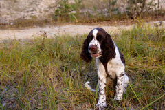 Cute Puppy English Springer Spaniel on nature Royalty Free Stock Photos