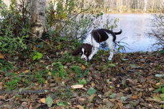 Cute Puppy English Springer Spaniel on the shore of forest Stock Images
