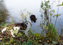Cute Puppy English Springer Spaniel on the shore of river Stock Image