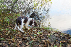 Cute Puppy English Springer Spaniel on shore of river Royalty Free Stock Images