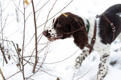 Cute Puppy English Springer Spaniel Walk on first snow. Stock Photos