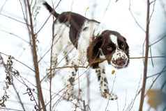 Cute Puppy English Springer Spaniel Walk on first snow. Stock Images