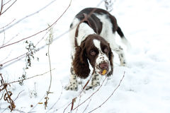 Cute Puppy English Springer Spaniel Walk on first snow. Royalty Free Stock Photography