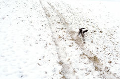 Cute Puppy English Springer Spaniel Walk on first snow. Royalty Free Stock Images