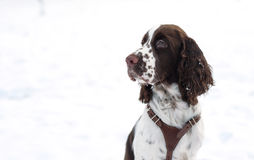 Cute Puppy English Springer Spaniel Walk on first snow. Royalty Free Stock Image
