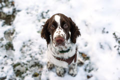 Cute Puppy English Springer Spaniel Walk on first snow. Stock Photo