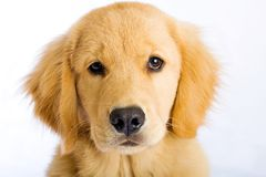 Cute puppy face Stock Images
