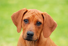 Cute puppy face portrait royalty free stock images