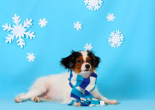 A cute puppy of a falen breed lies on a blue background with white snowflakes. stock photo