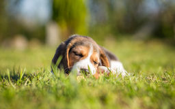 Cute Puppy falling asleep - Beagle Stock Images