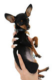 Cute puppy in female hand over white Stock Photo